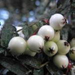 Bild: Chinesische Strauch-Eberesche Frucht weiß Sorbus frutescens