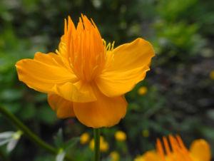 Chinesische Trollblume Bluete orange Trollius chinensis 07