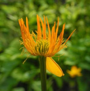 Chinesische Trollblume Bluete orange Trollius chinensis 09