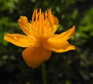 Chinesische Trollblume Bluete orange Trollius chinensis 12