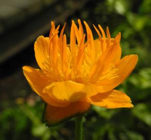 Chinesische Trollblume Bluete orange Trollius chinensis 13