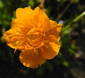 Chinesische Trollblume Bluete orange Trollius chinensis 14