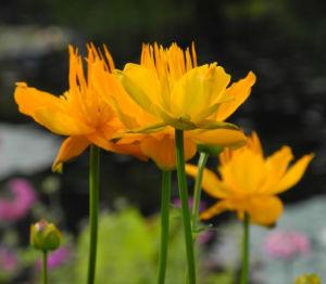 Chinesische Trollblume Bluete orange Trollius chinensis 17