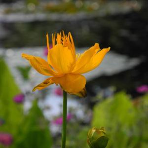 Chinesische Trollblume Bluete orange Trollius chinensis 18