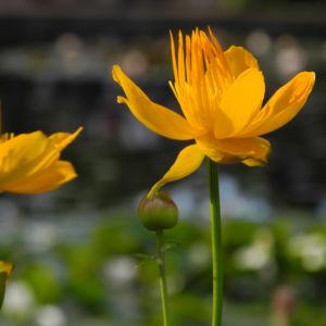 Chinesische Trollblume Bluete orange Trollius chinensis 19