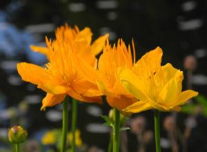 Chinesische Trollblume Bluete orange Trollius chinensis 20