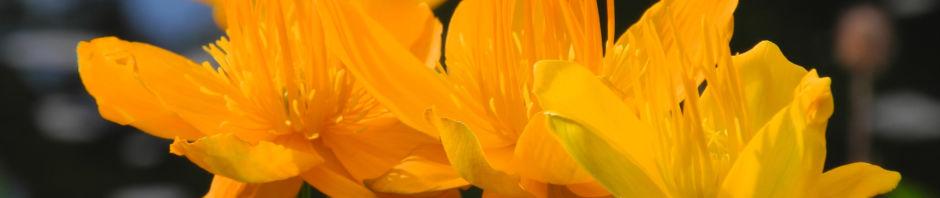 chinesische-trollblume-bluete-orange-trollius-chinensis