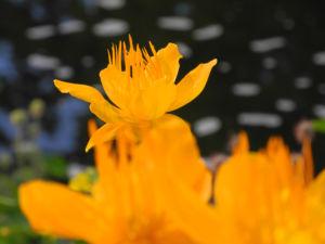 Chinesische Trollblume Bluete orange Trollius chinensis 21