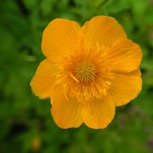Chinesische Trollblume Bluete orange Trollius chinensis 23