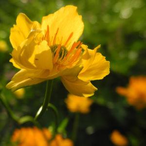 Chinesische Trollblume Bluete orange Trollius chinensis 25