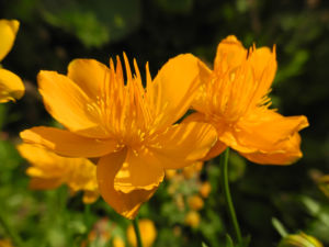 Chinesische Trollblume Bluete orange Trollius chinensis 27