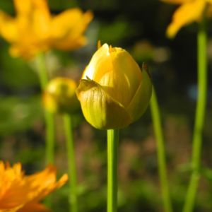 Chinesische Trollblume Bluete orange Trollius chinensis 32