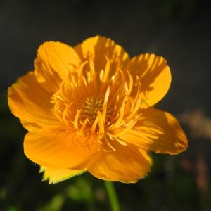 Bild: Chinesische Trollblume Bluete orange Trollius chinensis