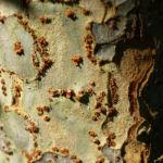 Chinesische Ulme Blatt gruen Rinde hellbraun Ulmus parvifolia 02