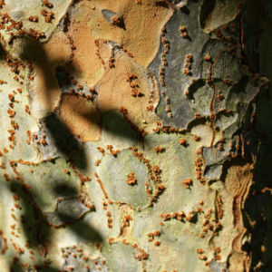 Chinesische Ulme Blatt gruen Rinde hellbraun Ulmus parvifolia 03