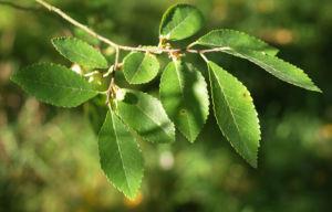 Chinesische Ulme Blatt gruen Rinde hellbraun Ulmus parvifolia 05