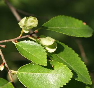 Chinesische Ulme Blatt gruen Rinde hellbraun Ulmus parvifolia 07