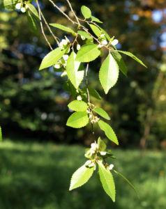 Chinesische Ulme Blatt gruen Rinde hellbraun Ulmus parvifolia 12