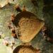 Zurück zum kompletten Bilderset Chinesische Ulme Baum Blatt grün Rinde hellbraun Ulmus parvifolia