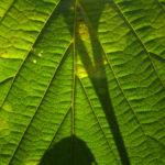 Chinesische Zaubernuss Frucht Blatt Hamamelis mollis 02