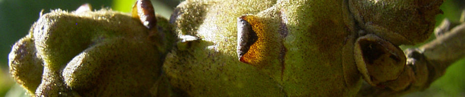 chinesische-zaubernuss-frucht-blatt-gruen-hamamelis-mollis