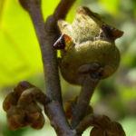 Chinesische Zaubernuss Frucht Blatt Hamamelis mollis 07