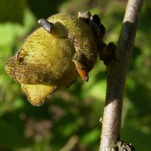 Bild: Chinesische Zaubernuss Frucht Blatt Hamamelis mollis