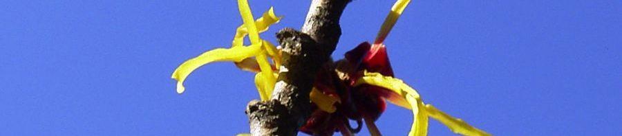 Anklicken um das ganze Bild zu sehen  Chinesische Zaubernuss Blüte gelb Hamamelis mollis