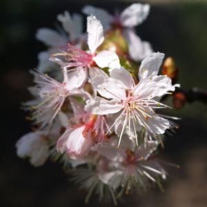 Chinesischer Kirschbaum Bluete rose Prunus dielsiana 01