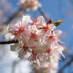 Chinesischer Kirschbaum Bluete rose Prunus dielsiana 02