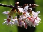Chinesischer Kirschbaum Bluete rose Prunus dielsiana 03