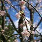 Chinesischer Kirschbaum Bluete rose Prunus dielsiana 05