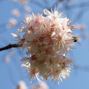 Chinesischer Kirschbaum Bluete rose Prunus dielsiana 06