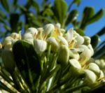 Bild: Chinesischer Klebsame Blüte weiß Pittosporum tobira