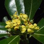 Chinesischer Klebsame Bluete weiss Pittosporum tobira 13