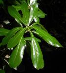 Chinesischer Klebsame Bluete weiss Pittosporum tobira 16