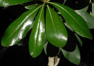 Chinesischer Klebsame Bluete weiss Pittosporum tobira 19