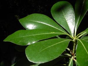 Chinesischer Klebsame Bluete weiss Pittosporum tobira 20