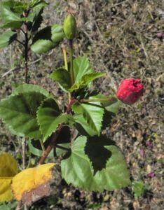 Chinesischer-Roseneibisch Blüte rot Hibiscus rosa-sinensis 03