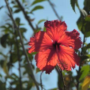 Chinesischer-Roseneibisch Blüte rot Hibiscus rosa-sinensis 05