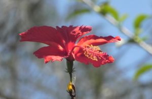 Chinesischer-Roseneibisch Blüte rot Hibiscus rosa-sinensis 06
