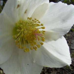 Christrose Schneerose Helleborus orientalis 03