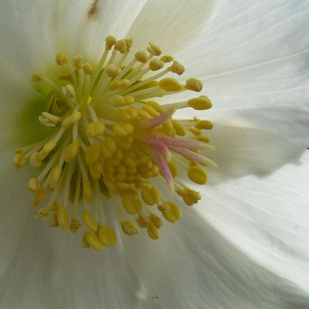 Christrose Schneerose Helleborus orientalis