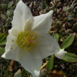 Christrose Schneerose Helleborus orientalis 06