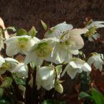 Bild: Christrose Blüte weiß Helleborus niger