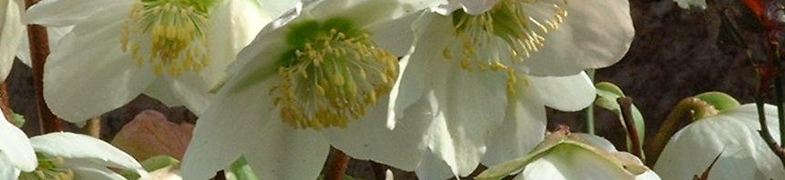 Anklicken um das ganze Bild zu sehen Christrose Blüte weiß Helleborus niger