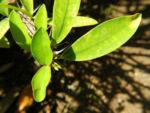 Christusdorn Blatt gruen Euphorbia milii 03