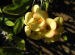 Christusdorn Bluete gelb Euphorbia milii 01
