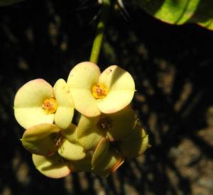 Christusdorn Bluete gelb Euphorbia milii 02