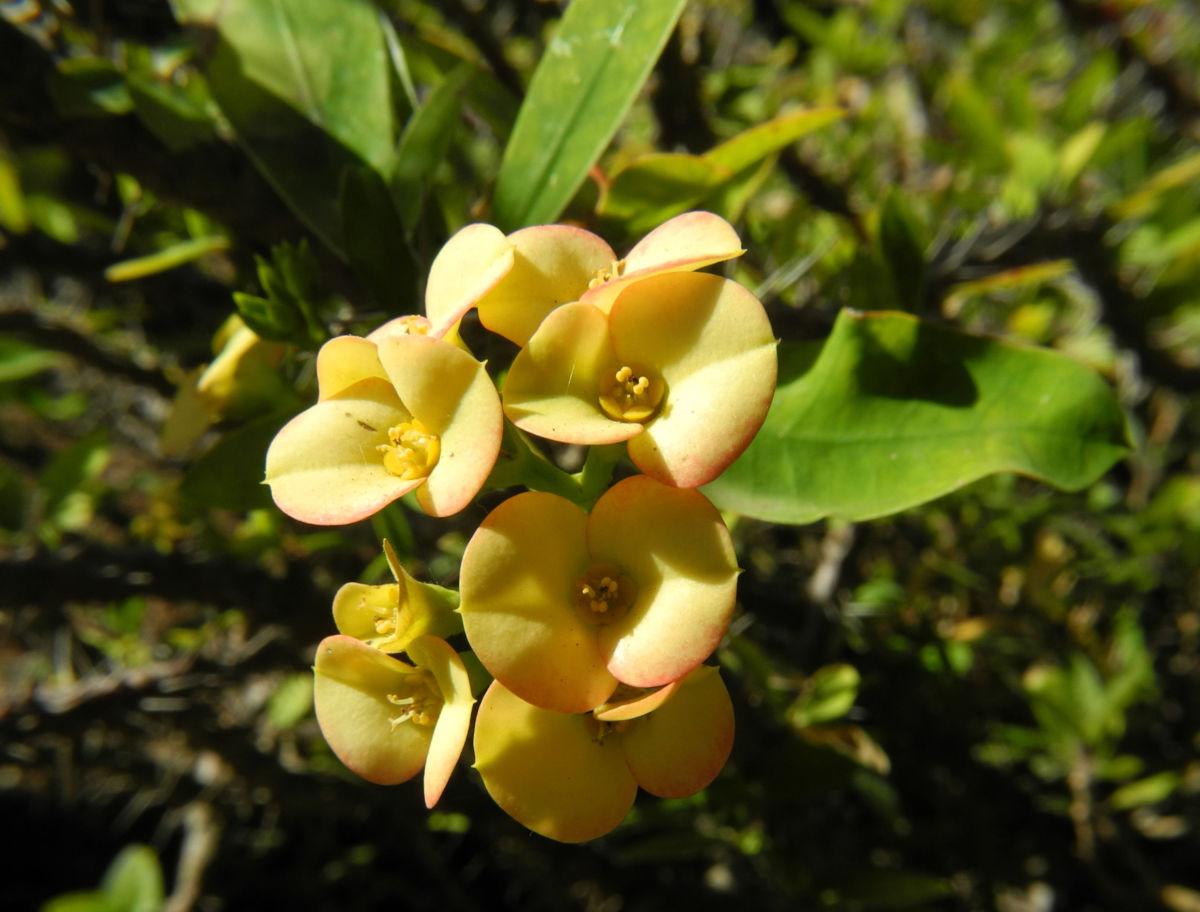 Christusdorn Bluete gelb Euphorbia milii